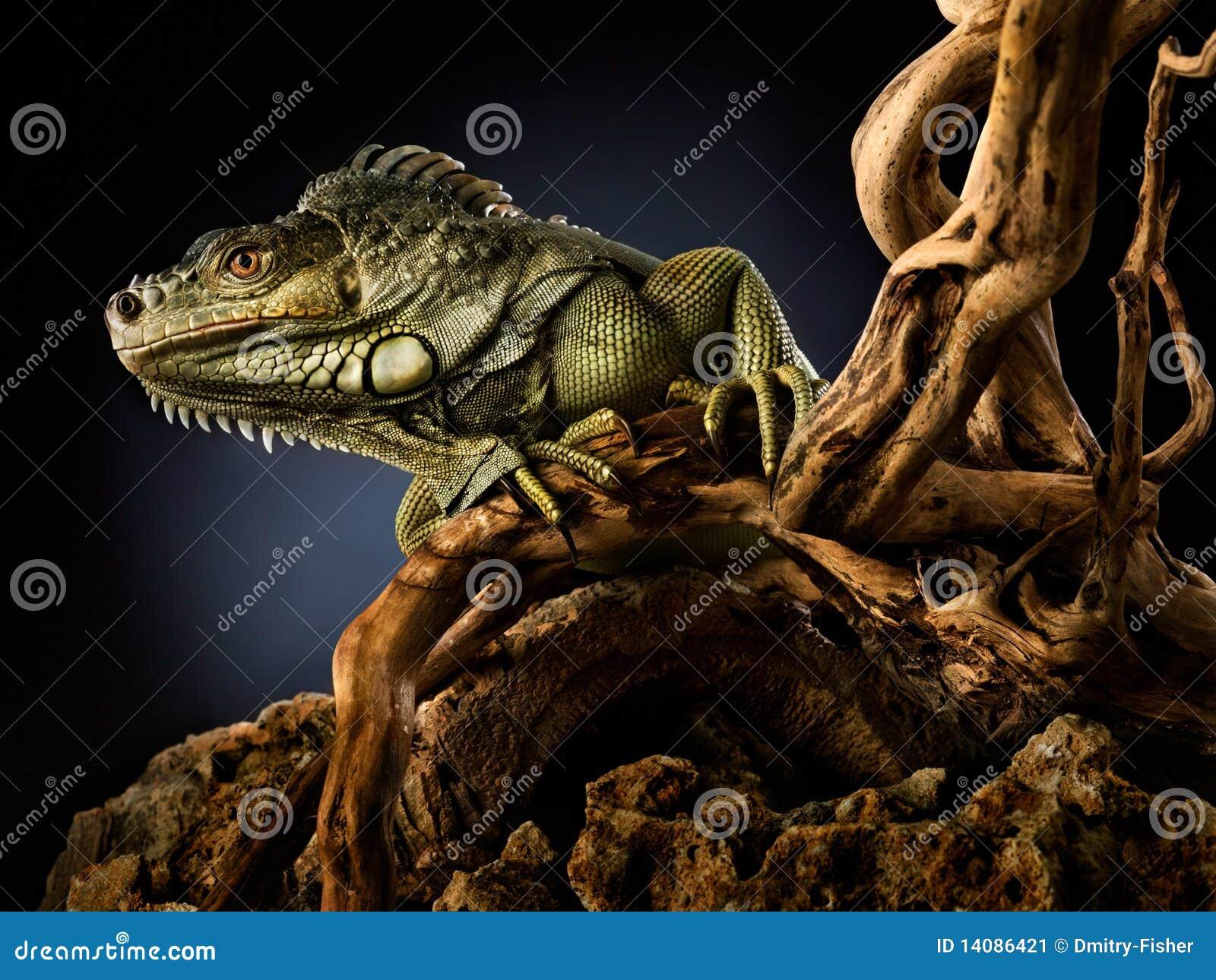 Ponga verde la iguana en la ramificación