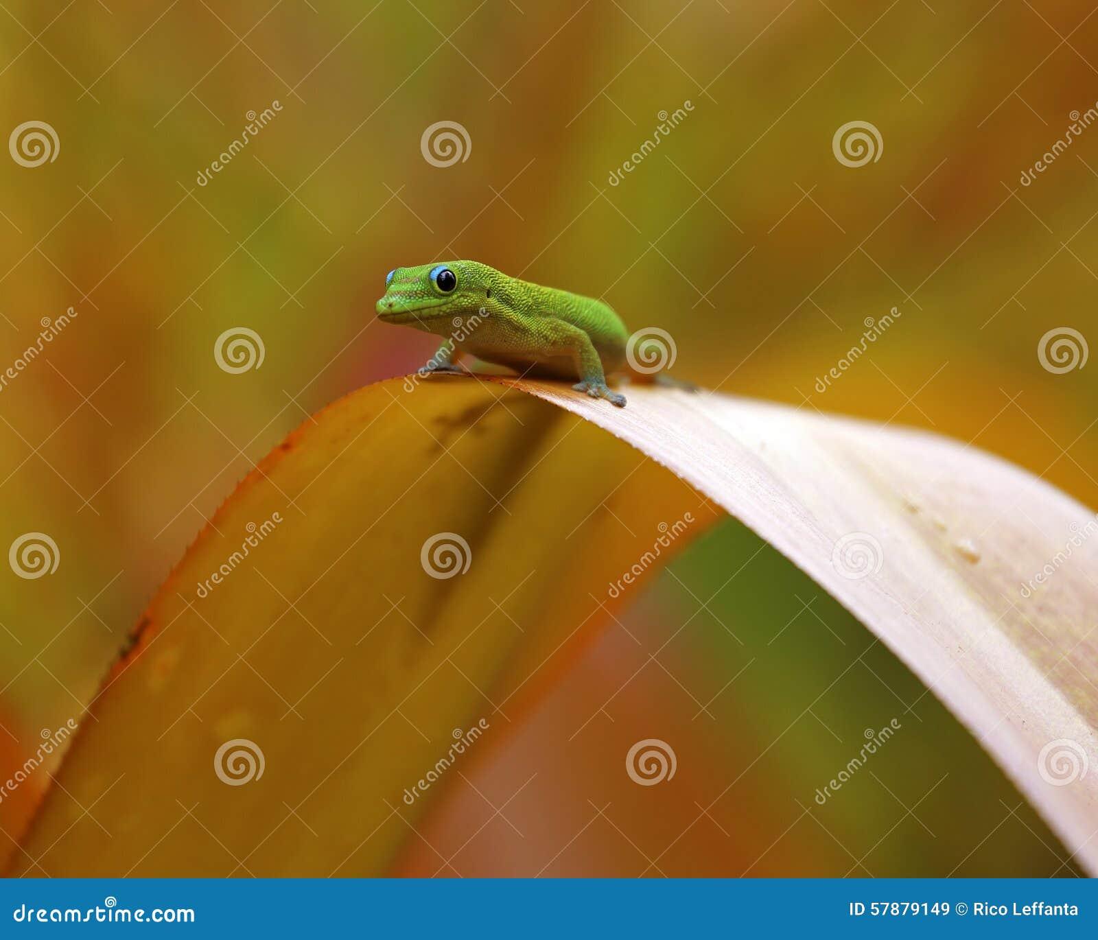 Pont de gecko