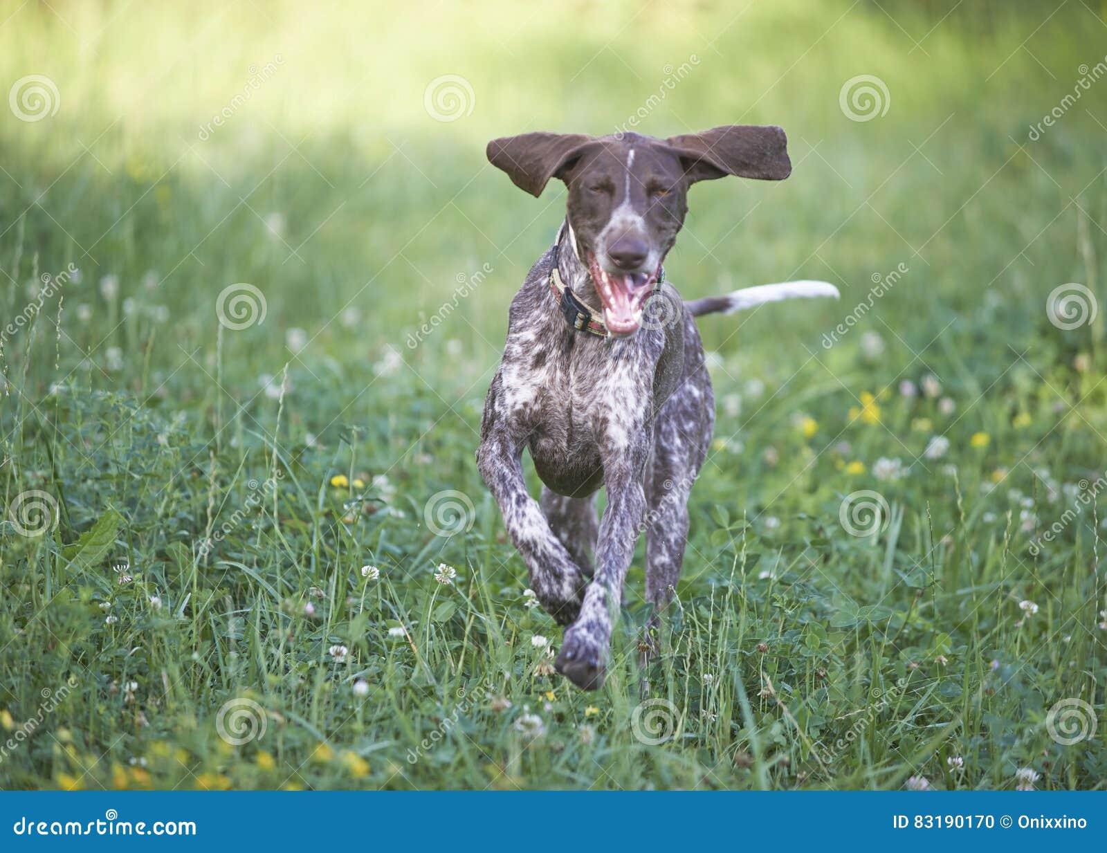 Ponteiro de cabelos curtos alemão - cão do caçador