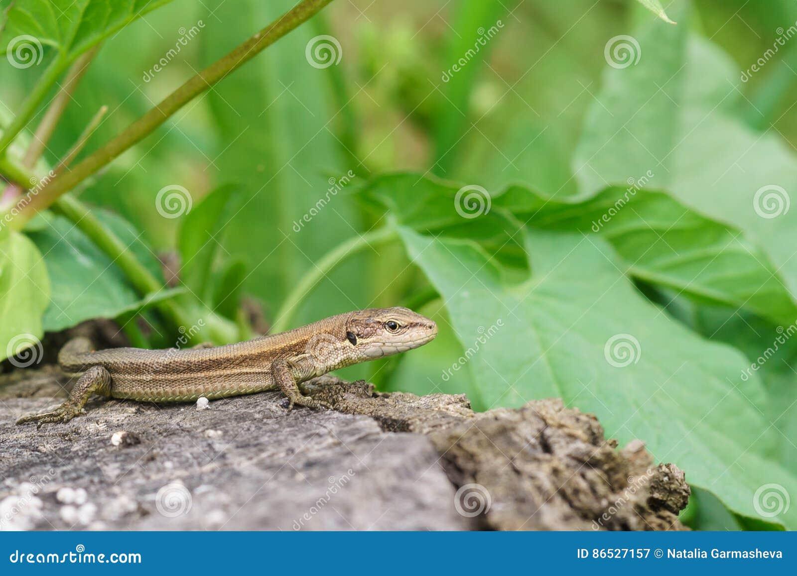 Pontic lizard Darevskia pontica Rock lizards sits on an old stump