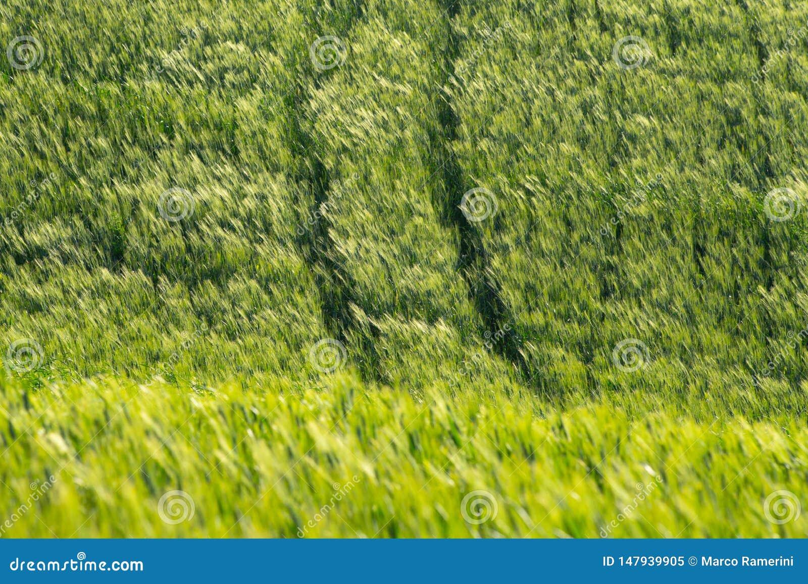 Pontos no vento em um campo de trigo Paisagem de Val d ?Orcia na mola Montes de Tosc?nia Ciprestes, montes, campos amarelos da co