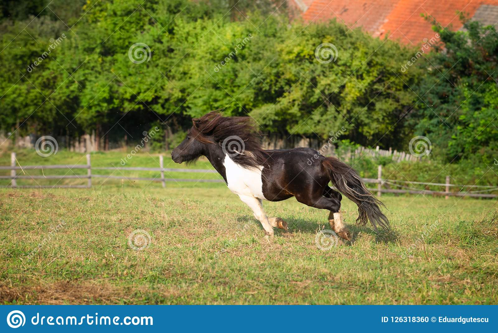 Pony horse running at the mountain farm