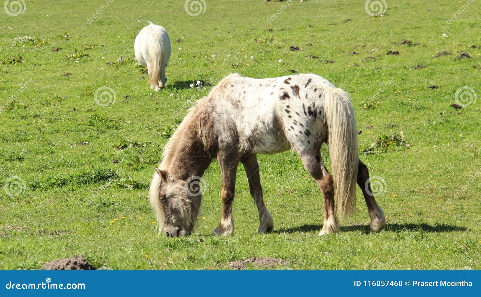 Pony Horses Graze And Relax auf grünen Feldern
