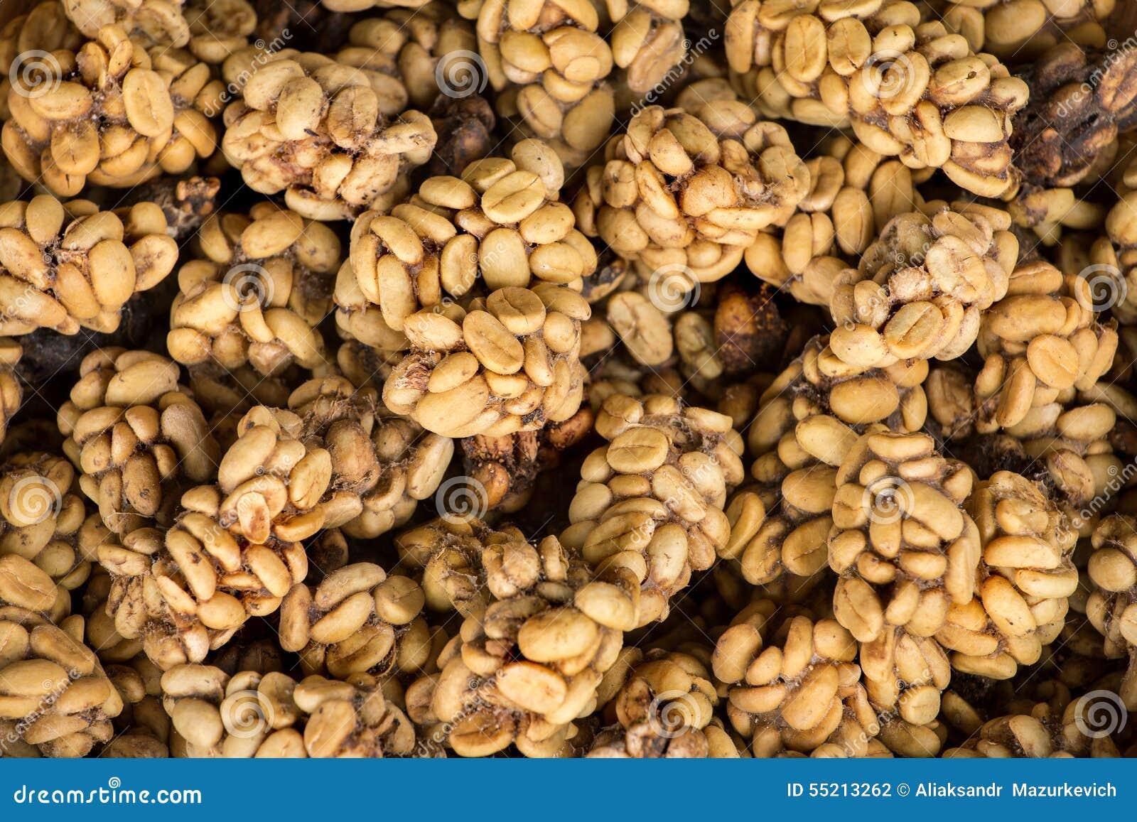 Poo do gato-de-algália que contém feijões de café digeridos