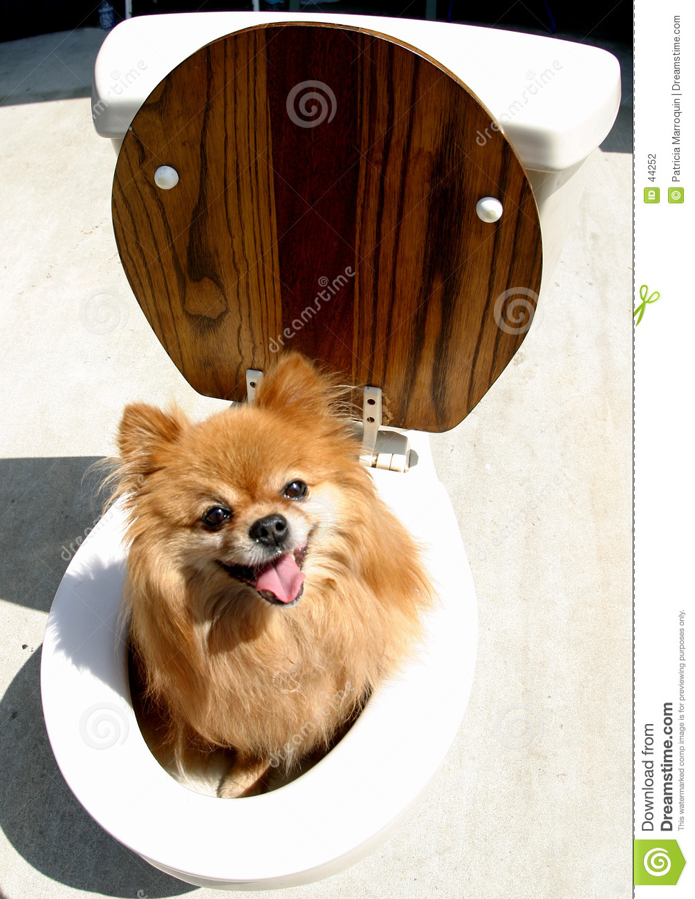 Download Pooch on the Pot stock photo. Image of pomeranian, seat - 44252