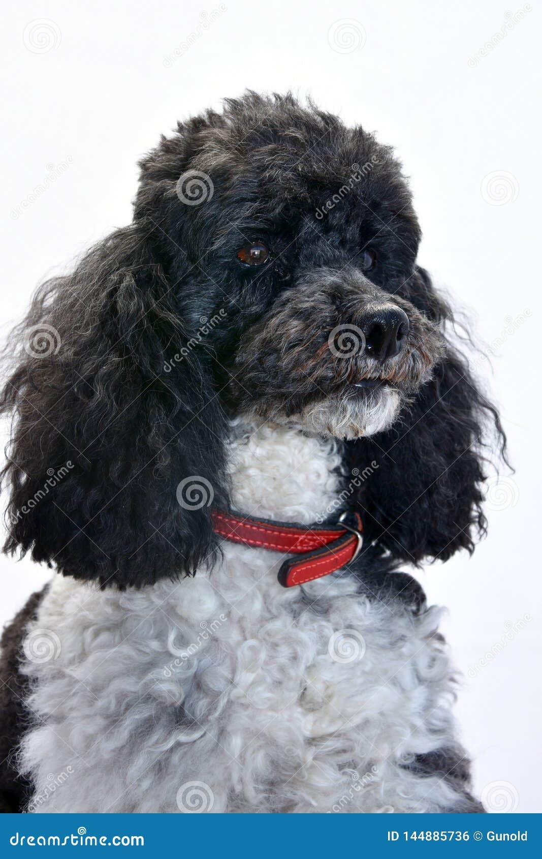 Poodle επτά Harlequin χρονών