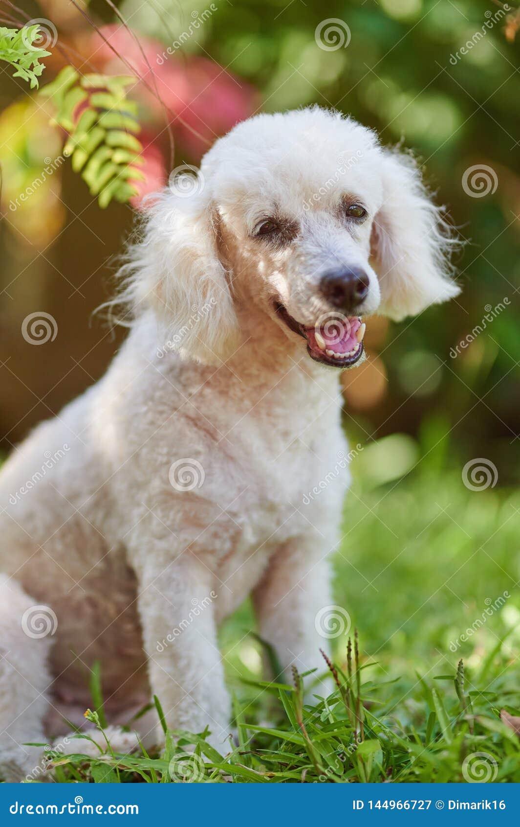 Πορτρέτο του άσπρου poodle σκυλιού