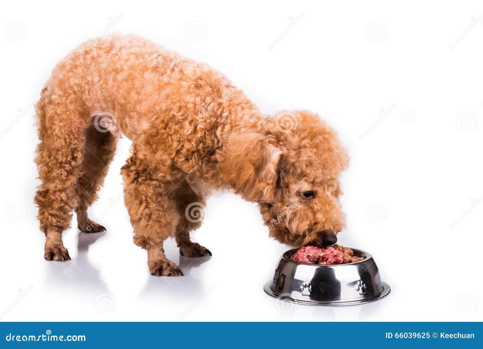 Poodle σκυλί που απολαμβάνει το θρεπτικό και εύγευστο ακατέργαστο κρεατάλευρό της
