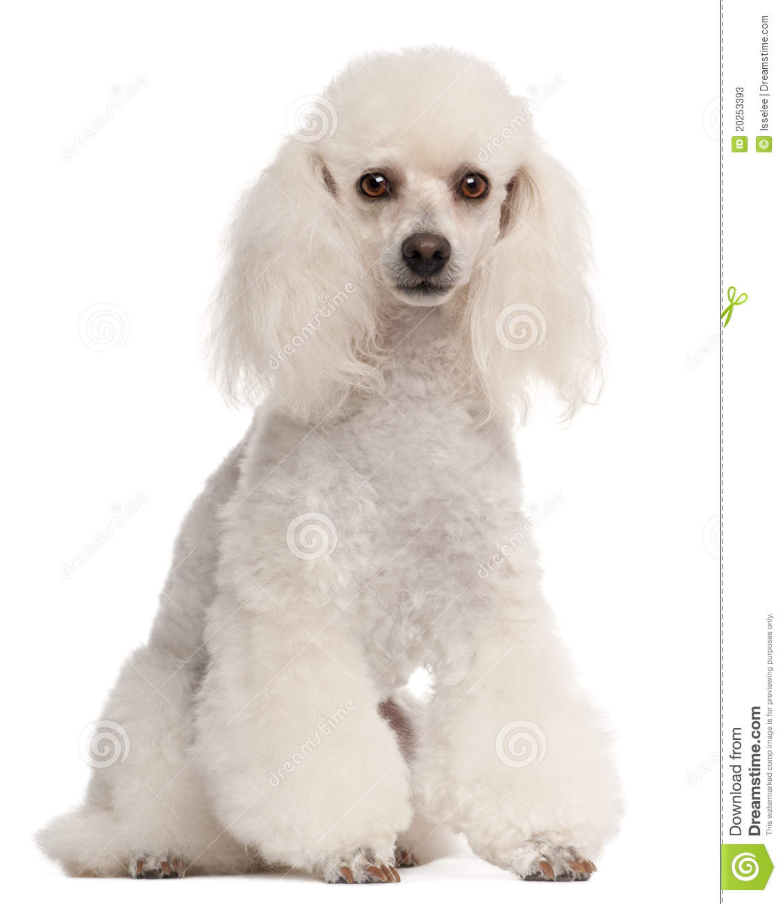 Poodle, 2 Years Old, Sitting Stock Photos - Image: 20253393