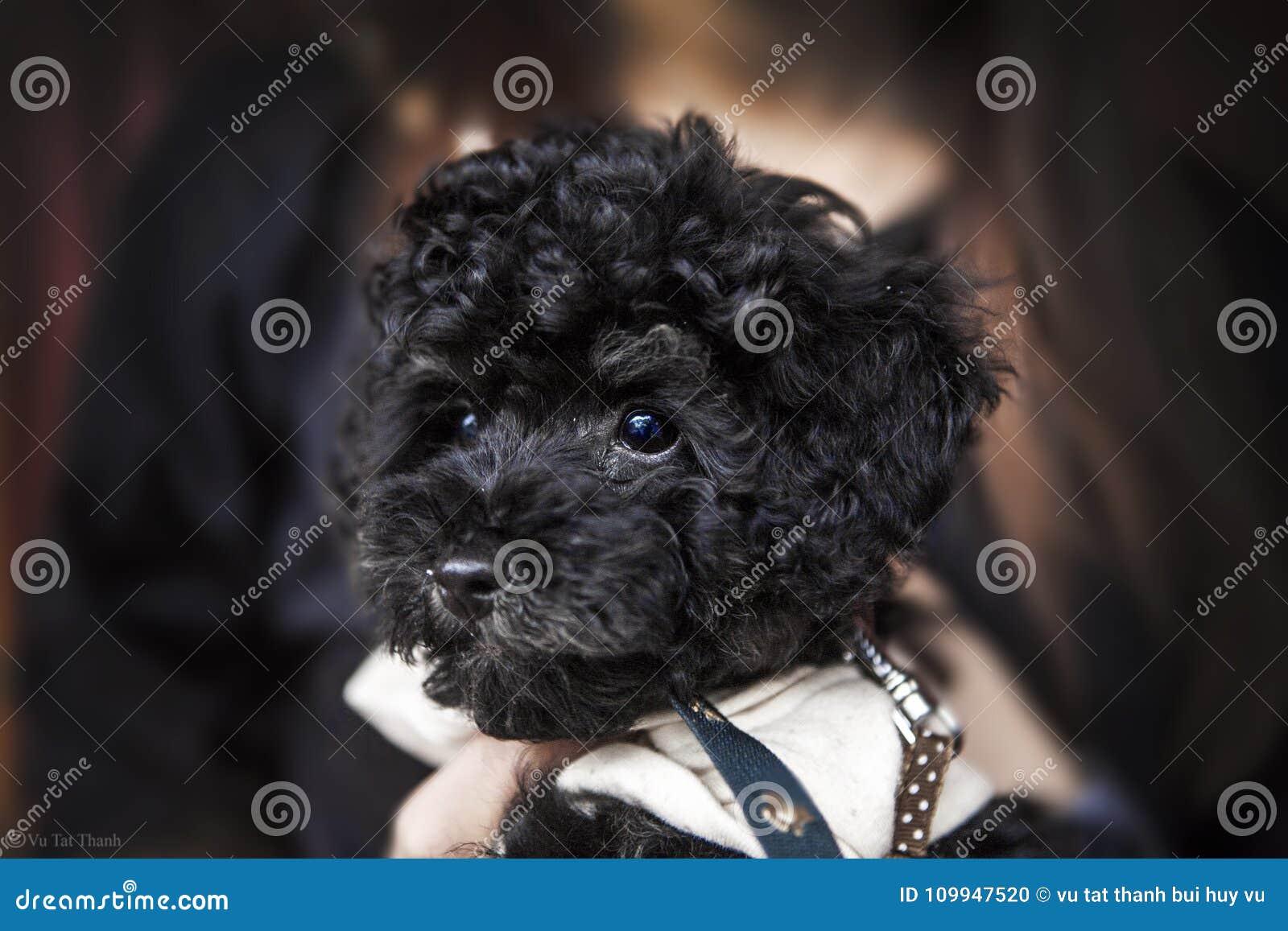 Poodle Cão pequeno cauda pele paws pet pets cães Cão