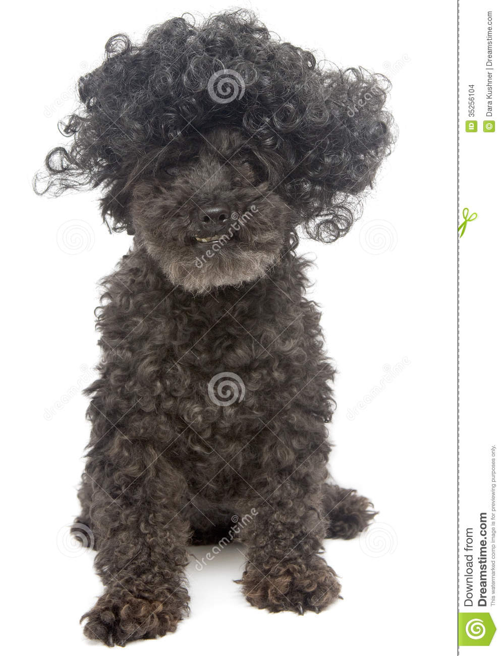 Poodle With Curly Hair Stock Photo Image Of Shaggy Afro