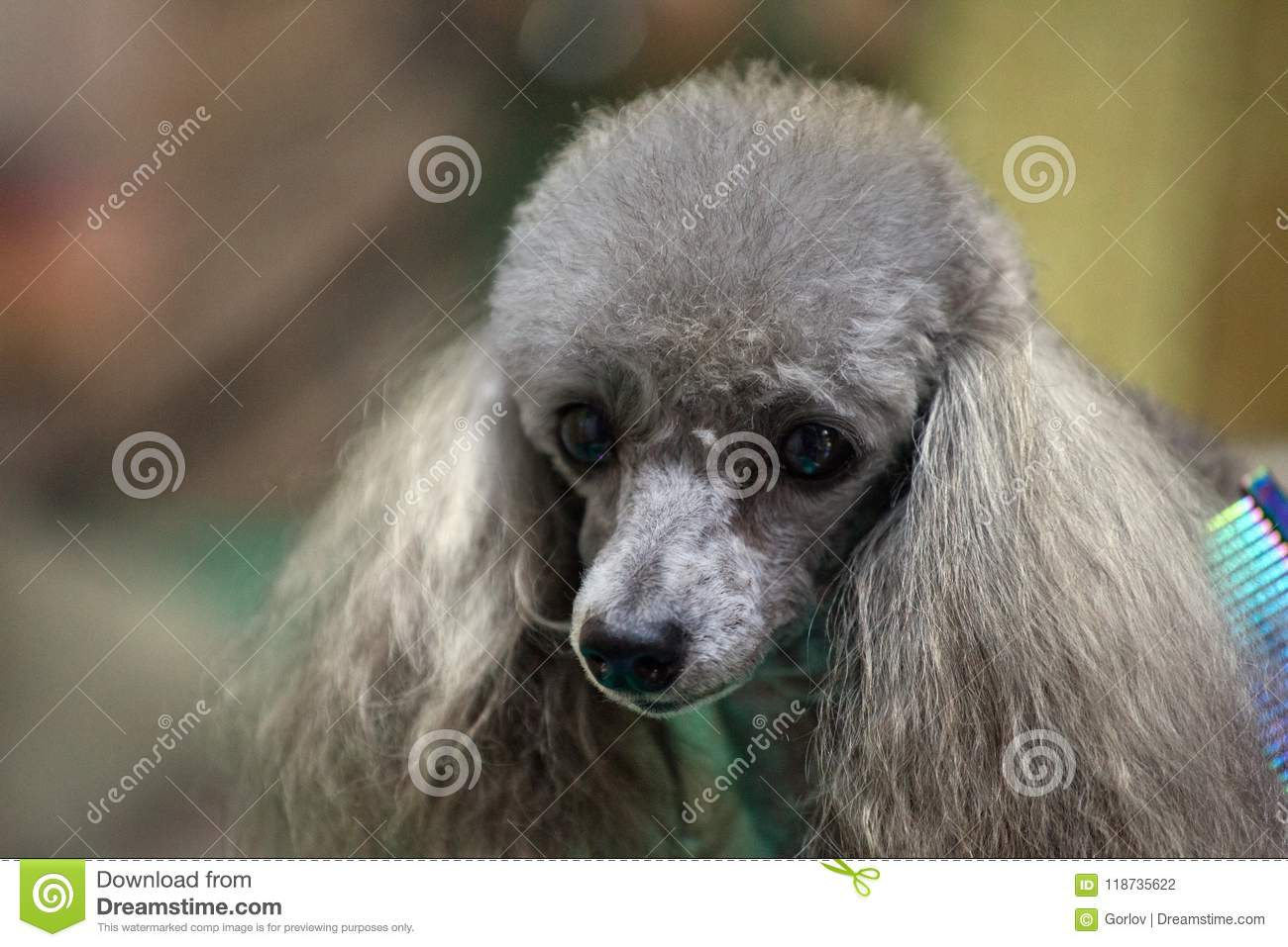 Pleasant Poodle Dog Hairstyle Groomer Professional Stock Photo Image Of Natural Hairstyles Runnerswayorg