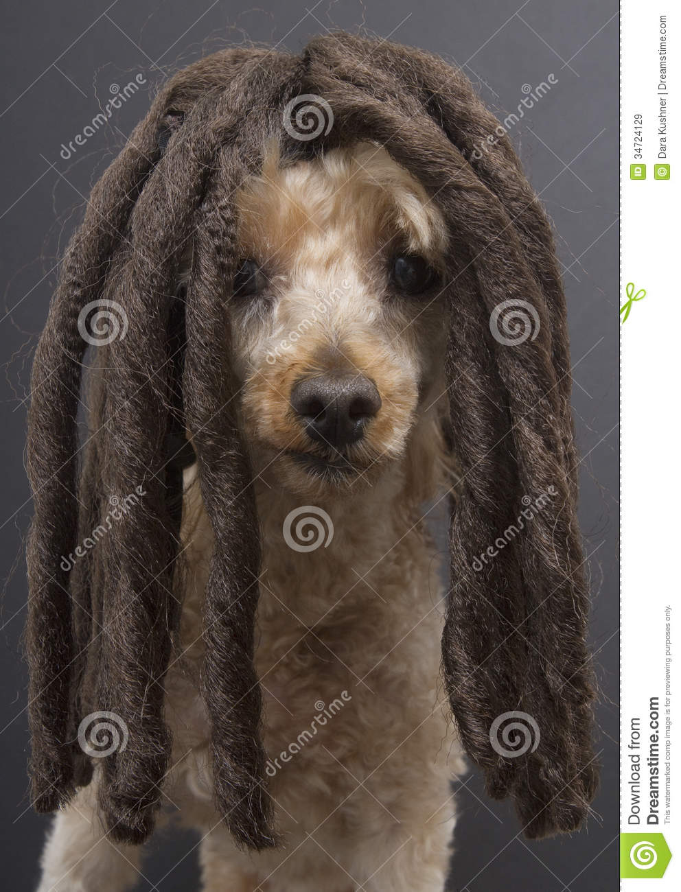 Poodle With Dreads Royalty Free Stock Images Image 34724129