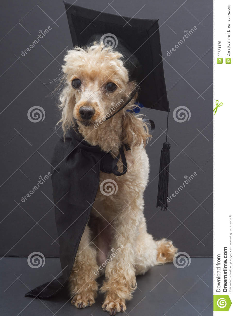 Poodle In Graduation Cap And Gown Stock Image Image Of Animal