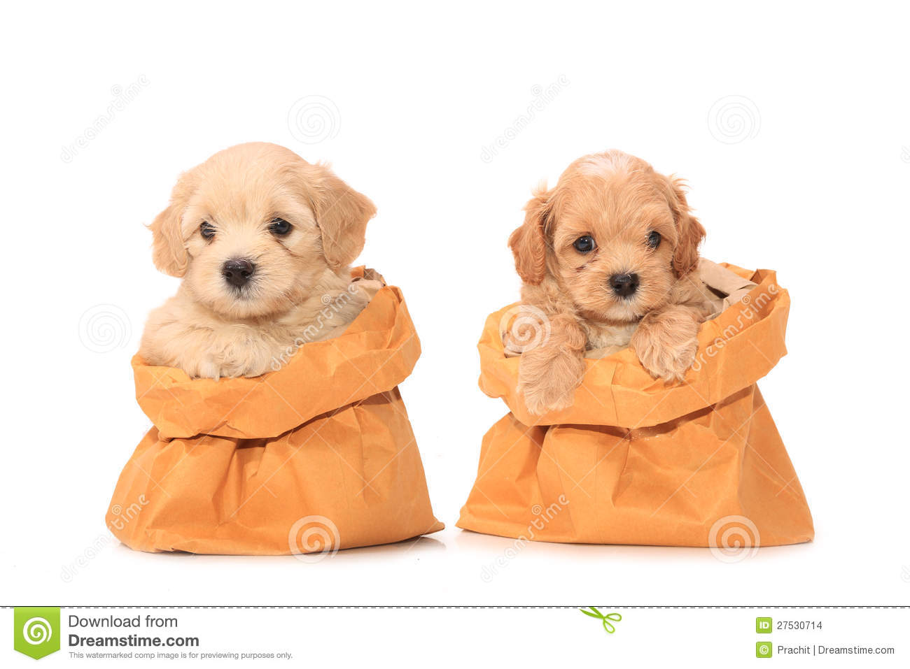 Poodle Puppies In Bag Stock Images