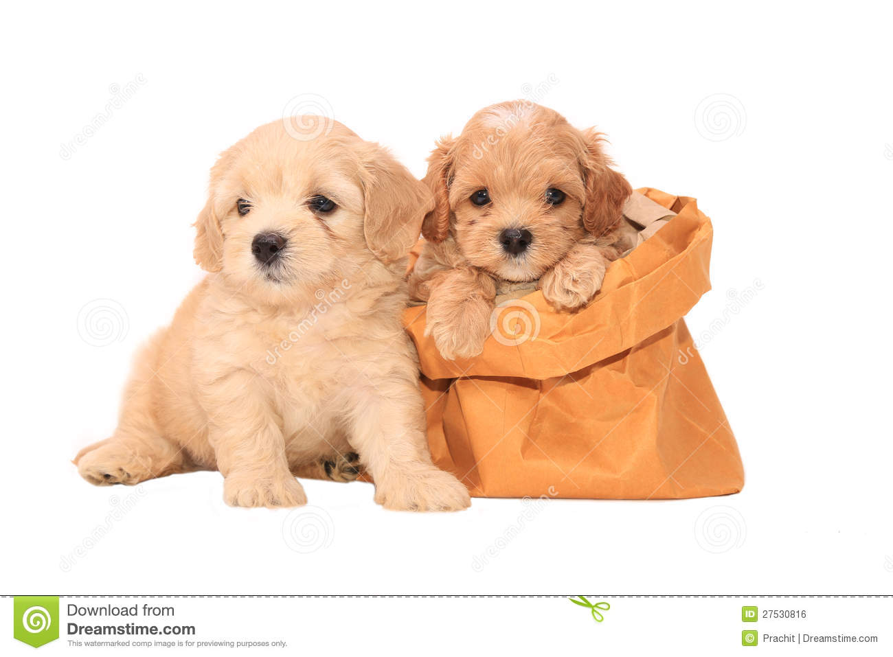 Poodle Puppies In Bag Royalty Free Stock Image