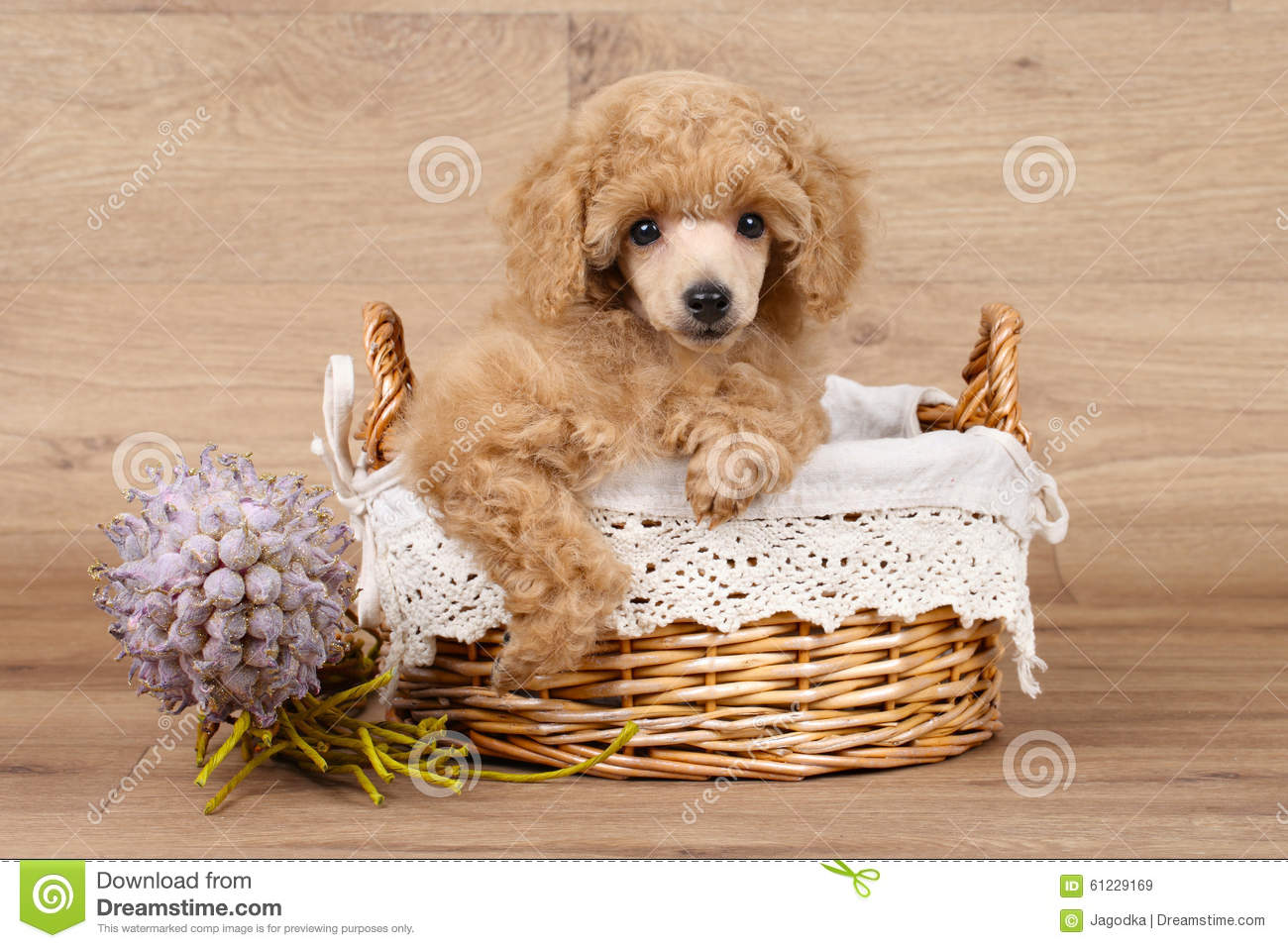 Poodle puppy in basket