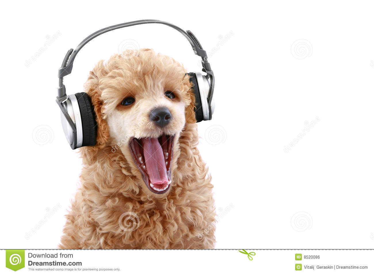 poodle puppy listening music on headphones royalty free Poodle Clip Art 50s Poodle Clip Art