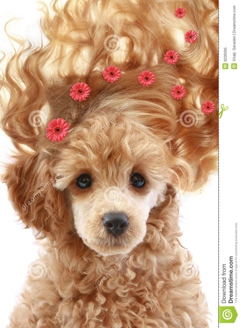 Poodle puppy with long hair