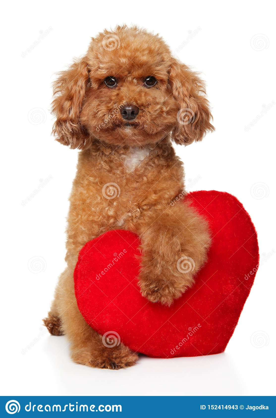 Poodle Puppy With Red Valentine Heart Stock Image Image Of Small Friend 152414943