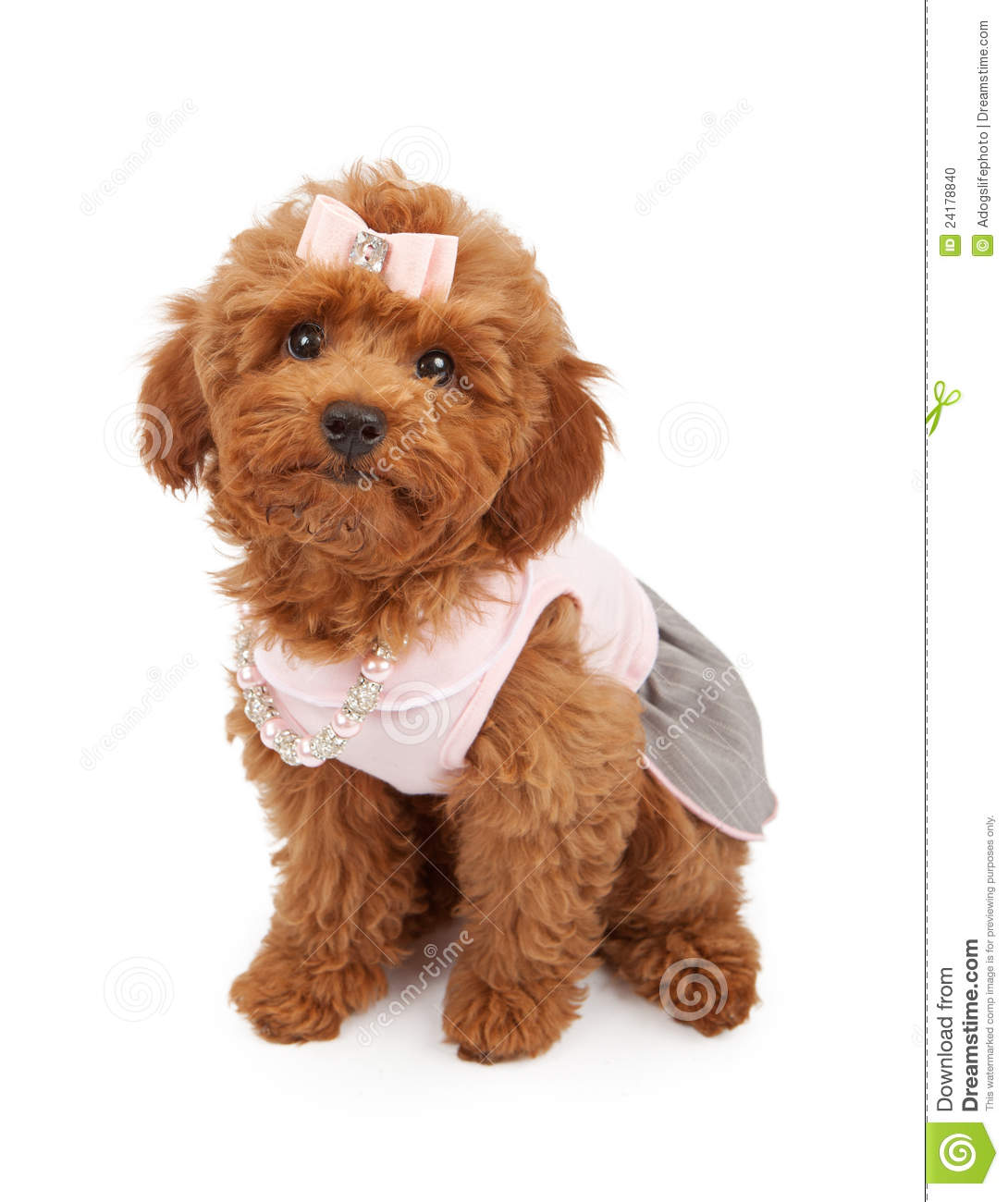 cute young red poodle puppy wearing a pink dress hair bow and pearl
