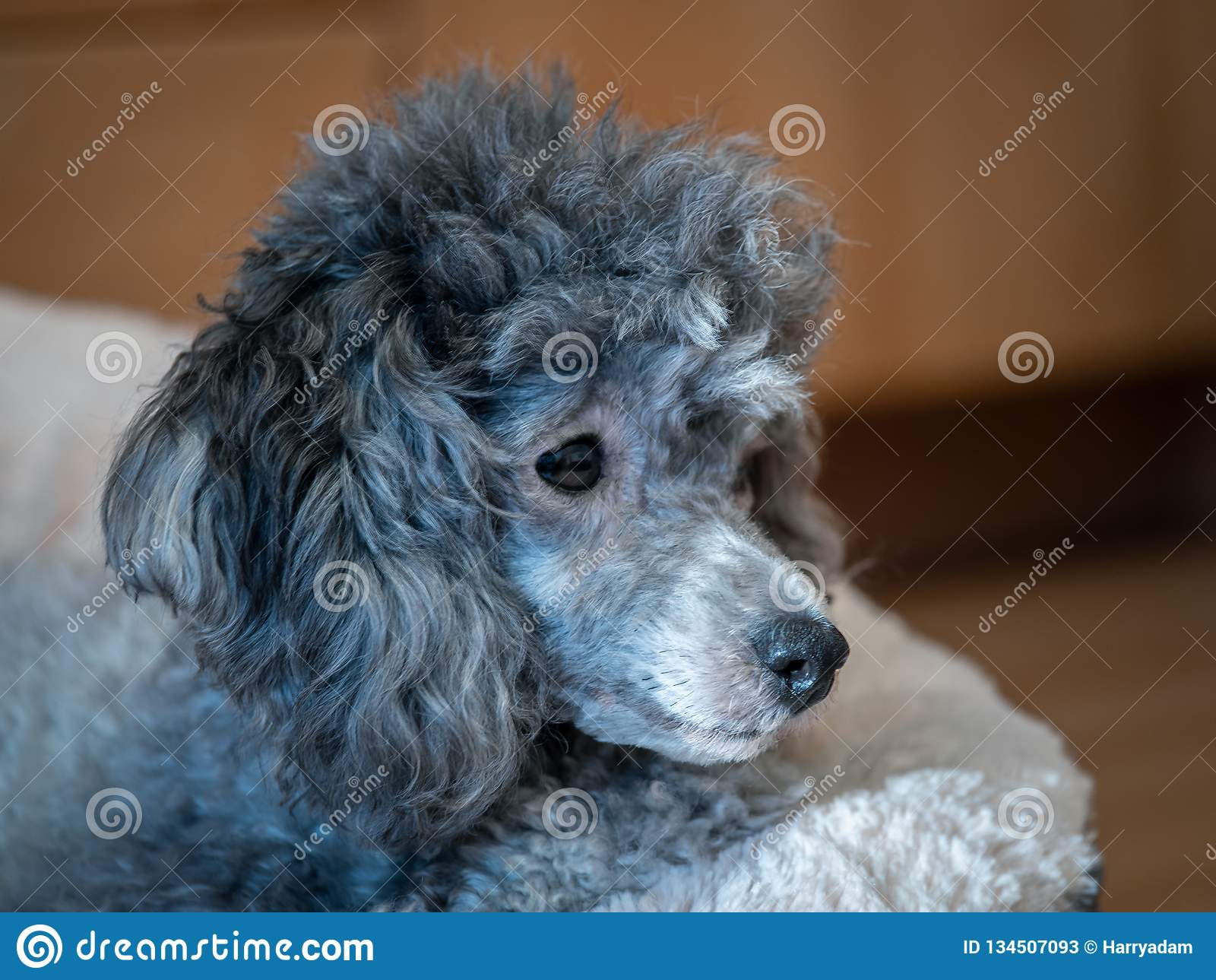 Poodle Silver Poodle Lies On Its Sleeping Place Side View Stock Image Image Of Sleeping Silver 134507093
