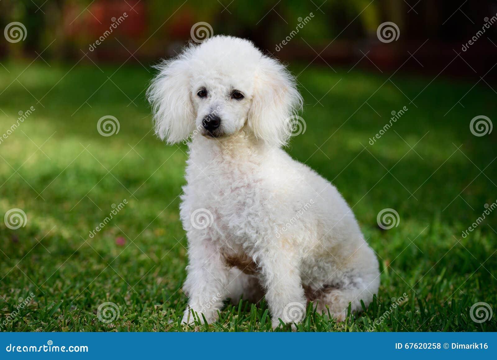 Poodle sit in park