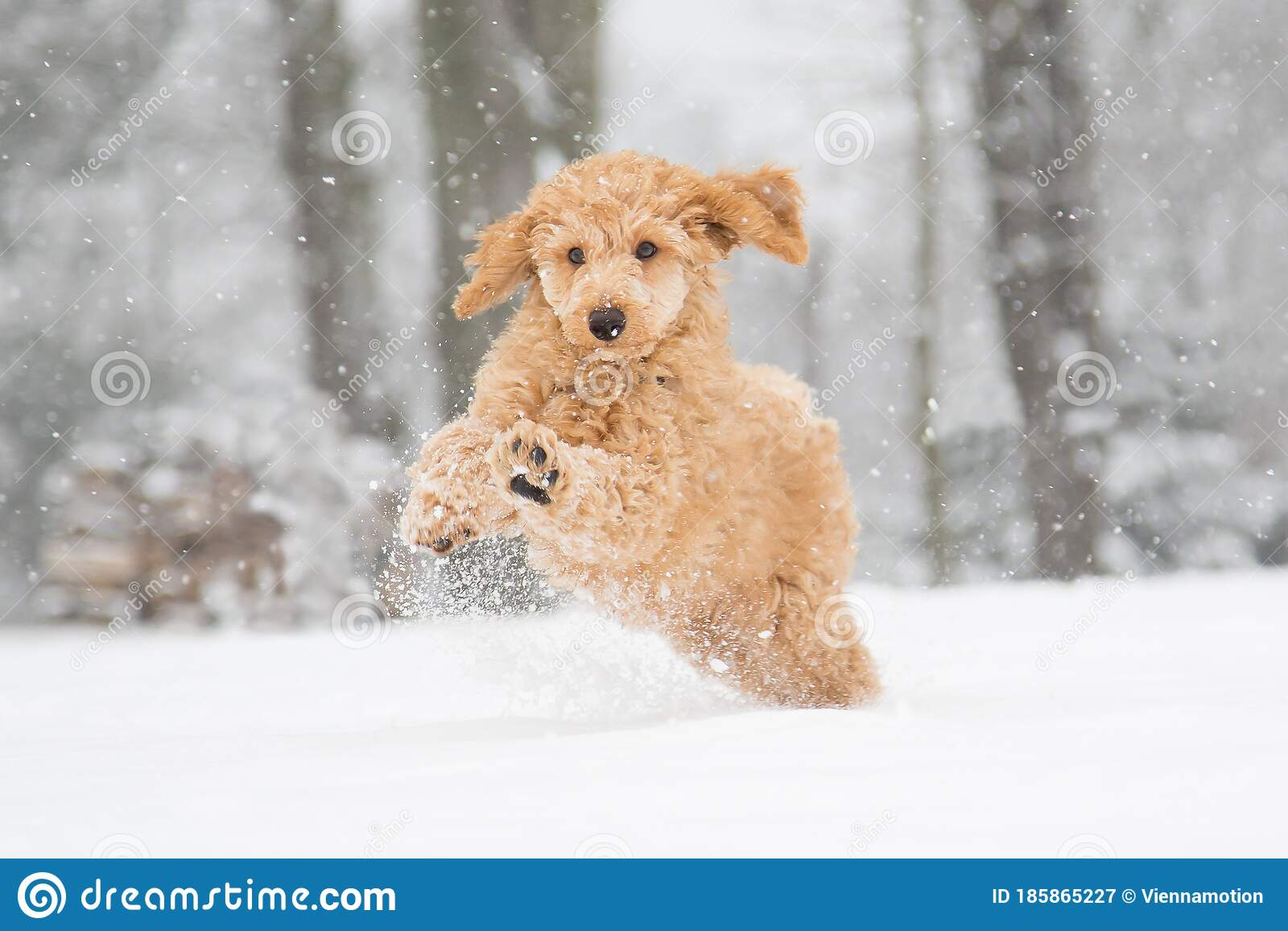 Apricot Poodle Puppy Is Jumping And Enjoying In The Snow Stock Image Image Of Nature Hiking 185865227