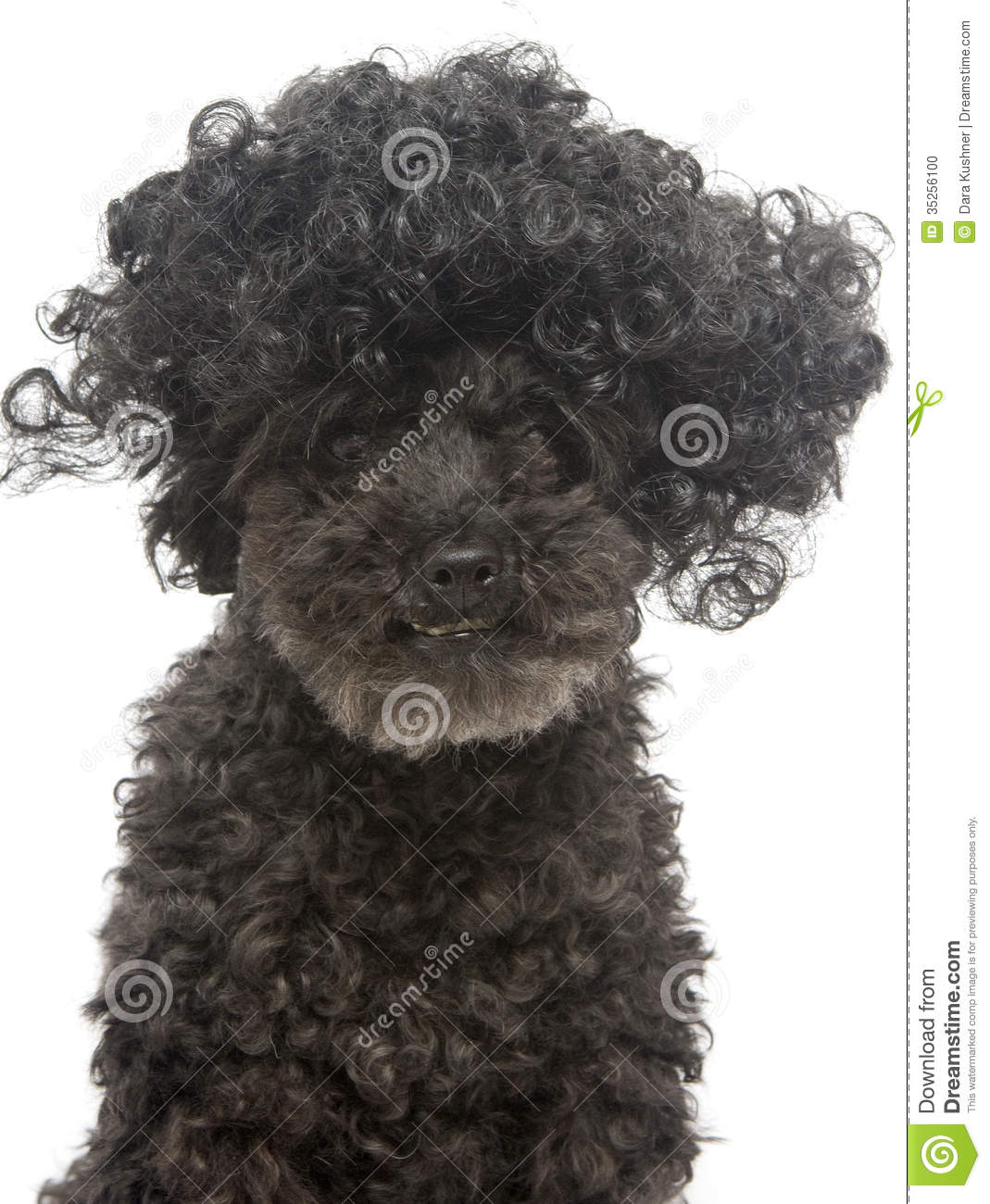 Poodle With Very Curly Hair Stock Photo Image Of