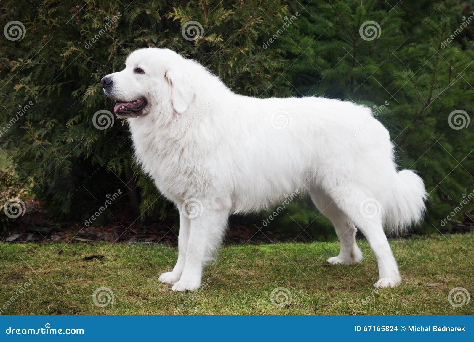 poolse herdershond tatra voorbeeldgever in zijn ras ook genoemd