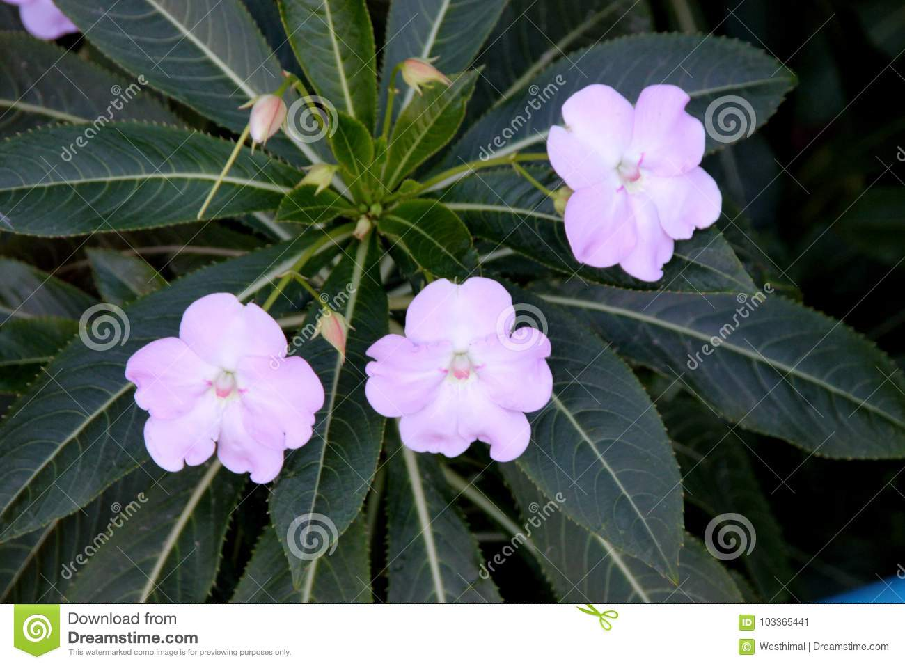 Poor Mans Rhododendron Impatiens Sodenii Stock Image Image Of