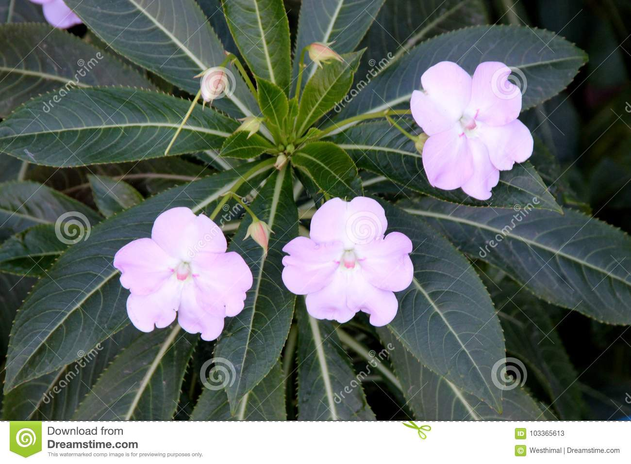 Poor mans rhododendron impatiens sodenii stock image image of poor mans rhododendron impatiens sodenii bushy perennial with widely lance shaped leaves and showy up to 5 cm wide white to pink flowers with long mightylinksfo