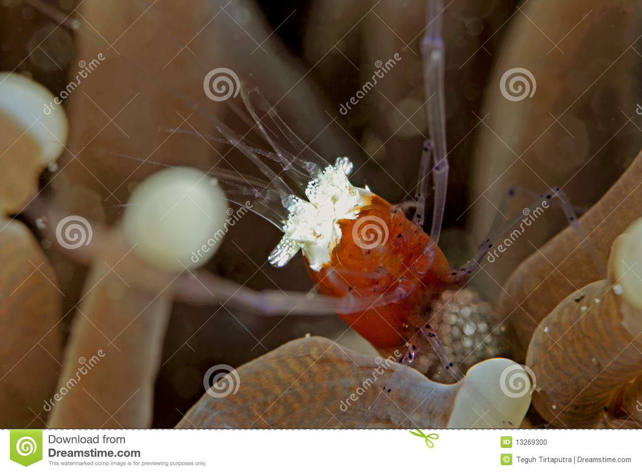 Popcorn Shrimp Stock Photo Image Of Underwater Ocean 13269300