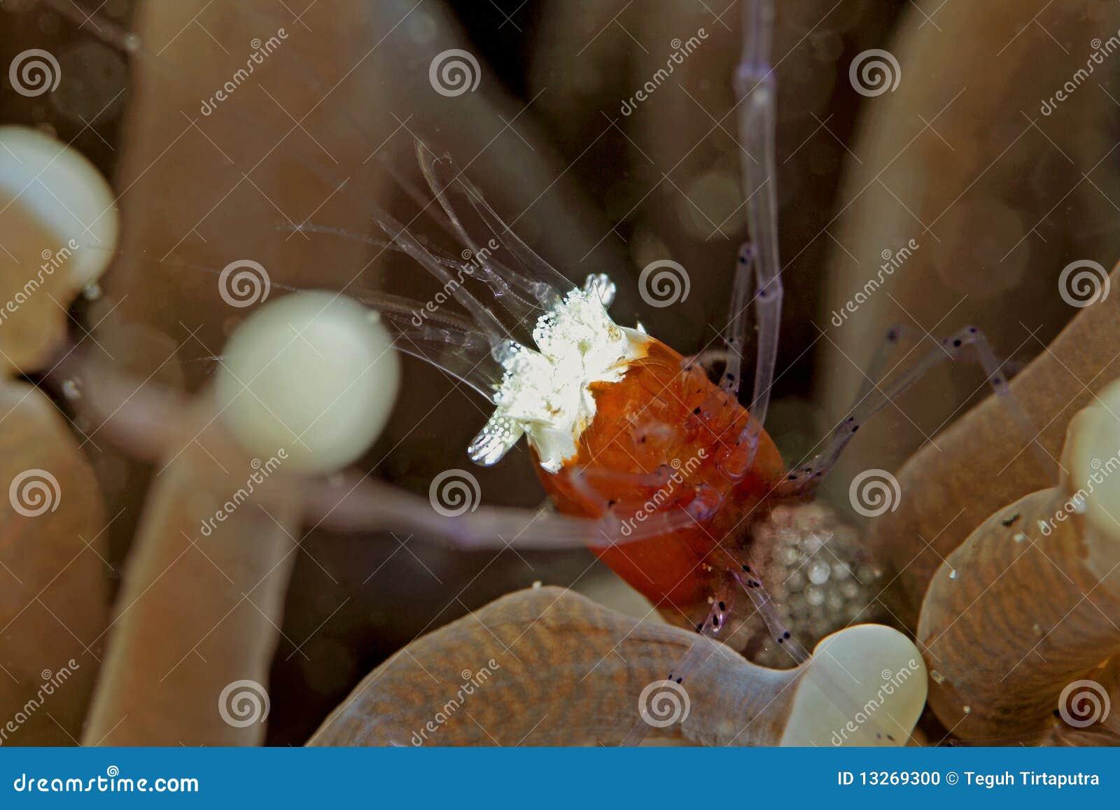 Popcorn Shrimp Stock Photo Image Of Underwater Ocean 13269300