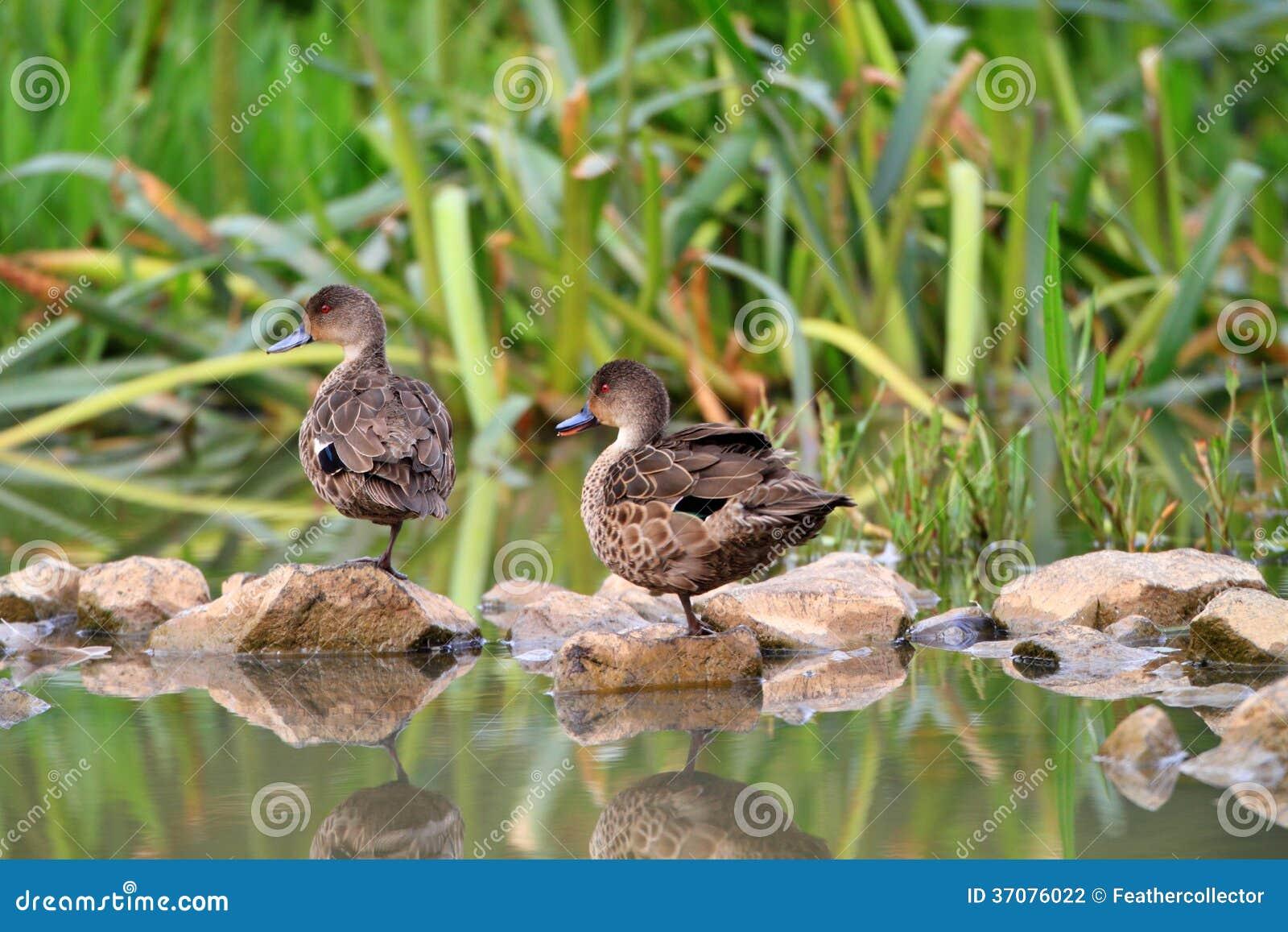 Download Popielata Cyraneczka (Anas Gracilis) Zdjęcie Stock - Obraz złożonej z zwierzę, wildfowl: 37076022