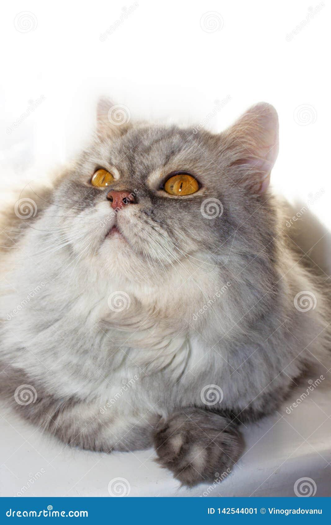 Popielaty puszysty kot na okno patrzeje w g