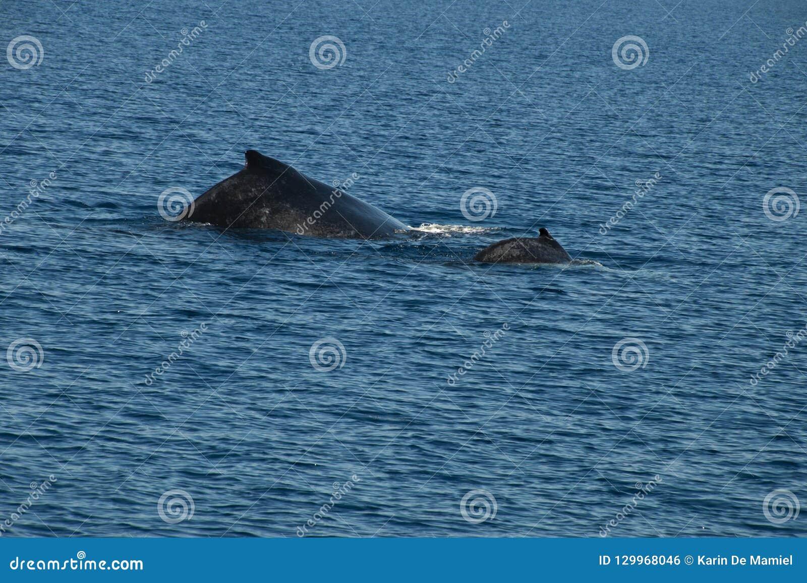 Popiera humpback łydka i wieloryb