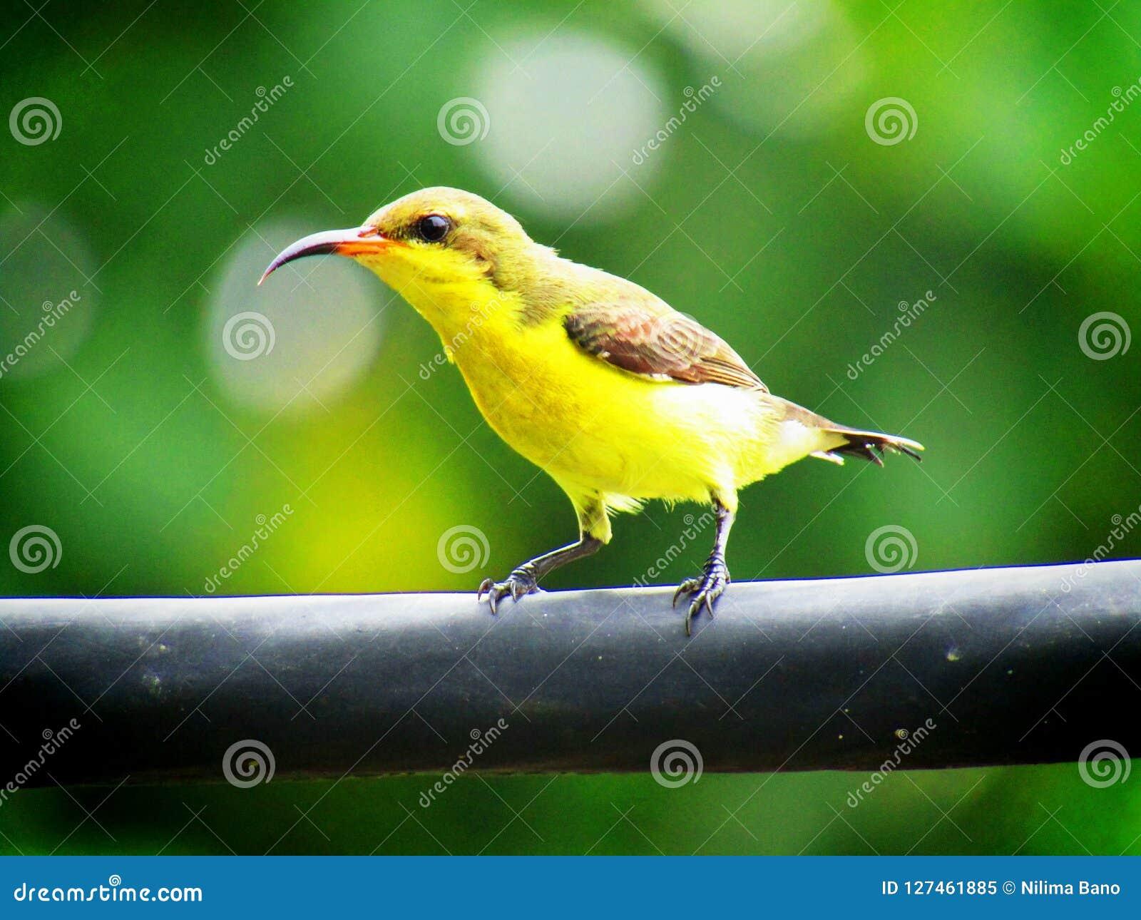 Popierający sunbird Cinnyris jugularis, także znać jako bellied sunbird, są południowi Dalekowshodni gatunki sunb
