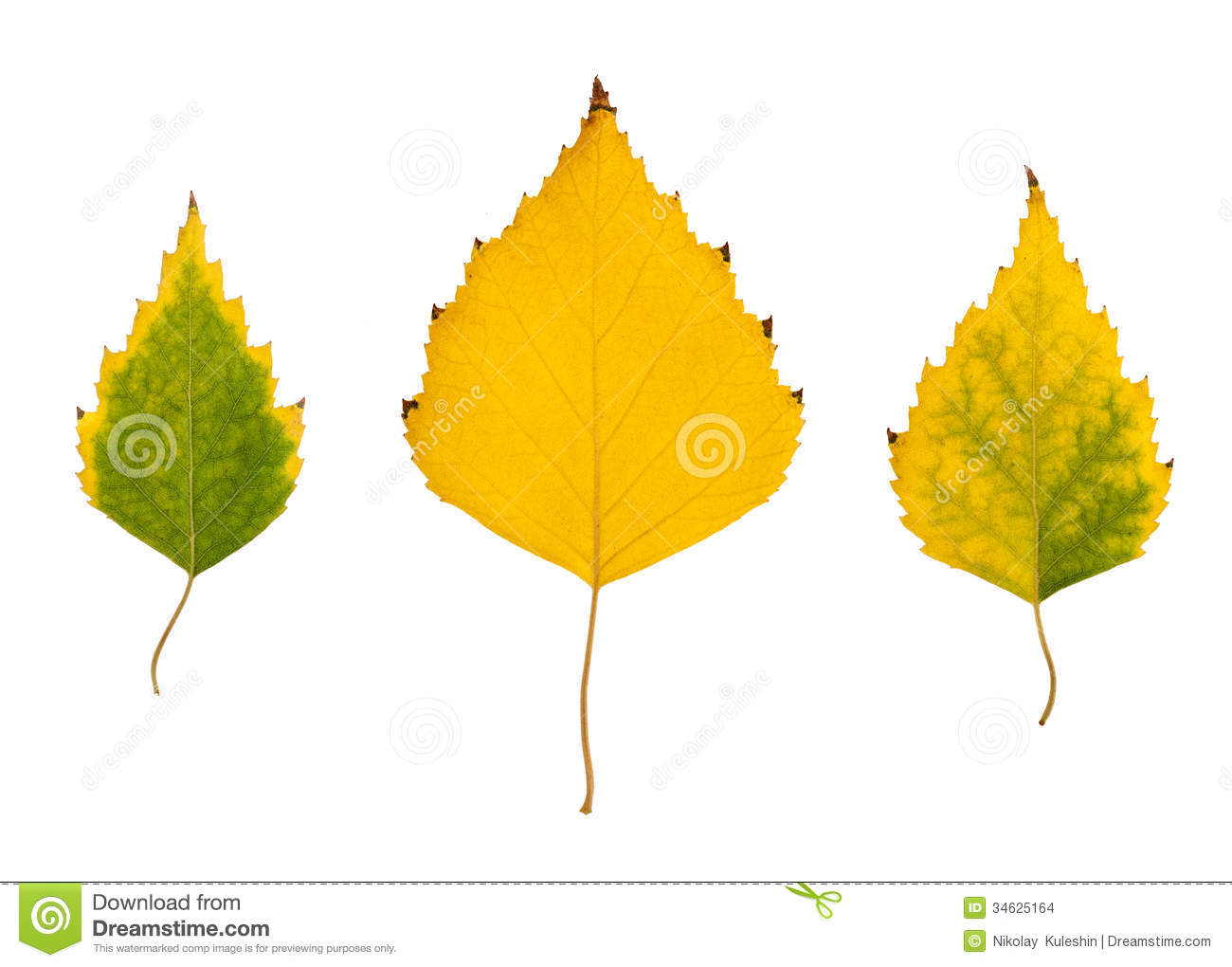 Yellow poplar leaves isolated on a white background.