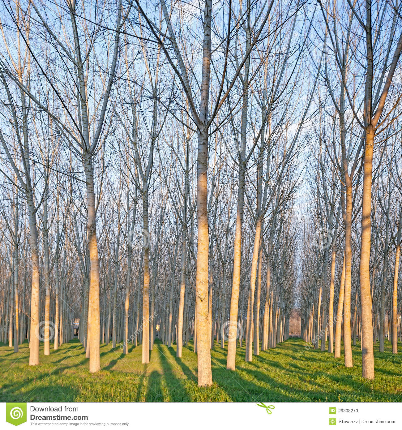 Poplar tree forest in winter emilia italy stock photo