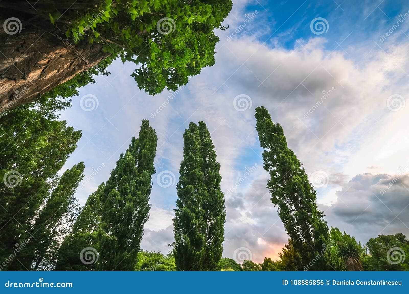 Poplar trees at sunset