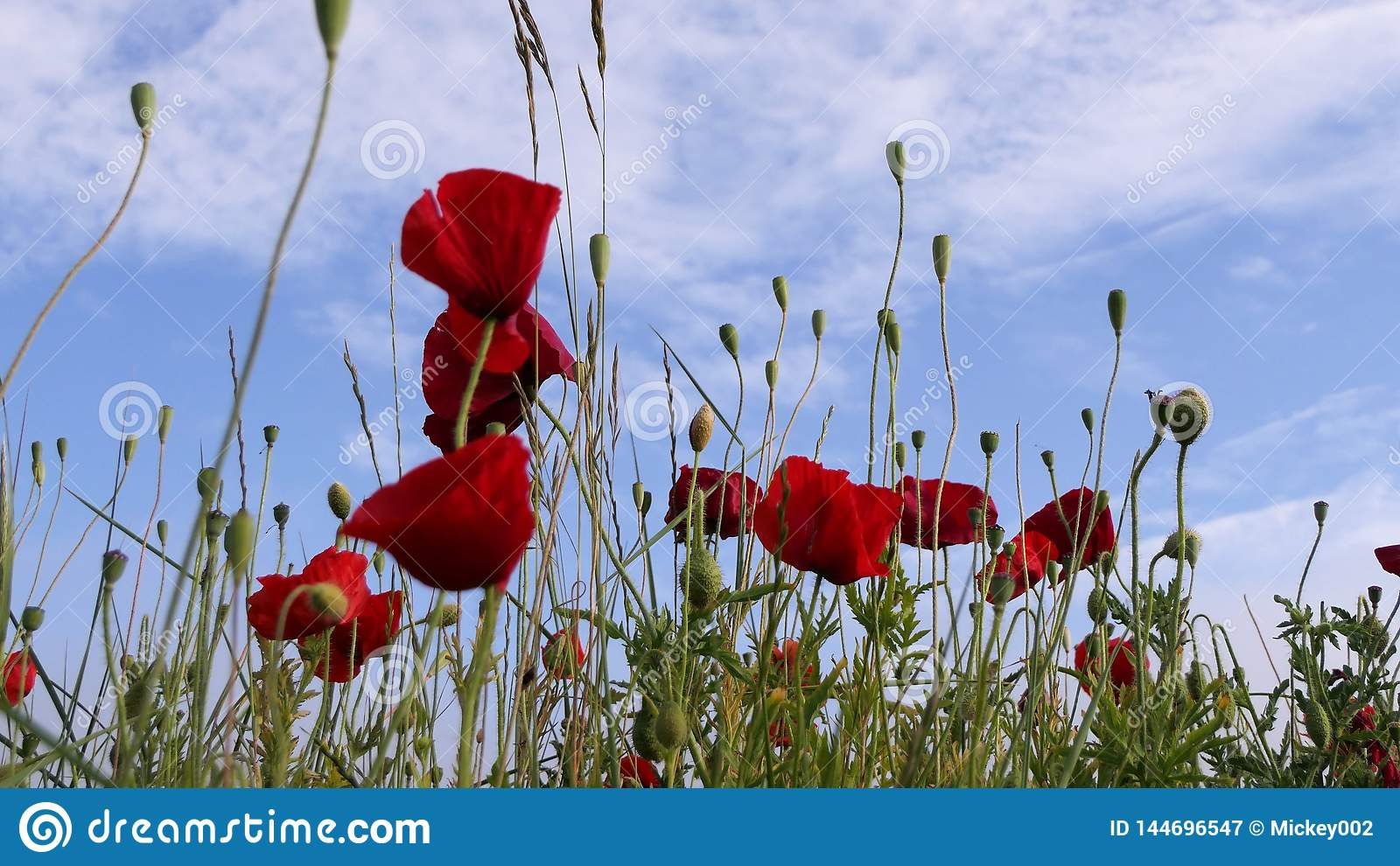 Poppies and blue sky