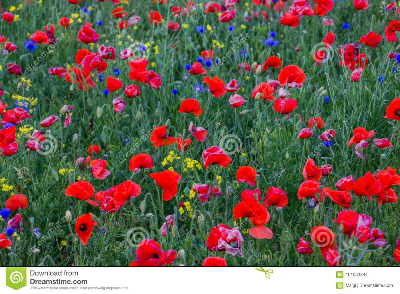 Download Poppies And Cornflowers Field Background Stock Photo - Image of floral, flowers: 101053344
