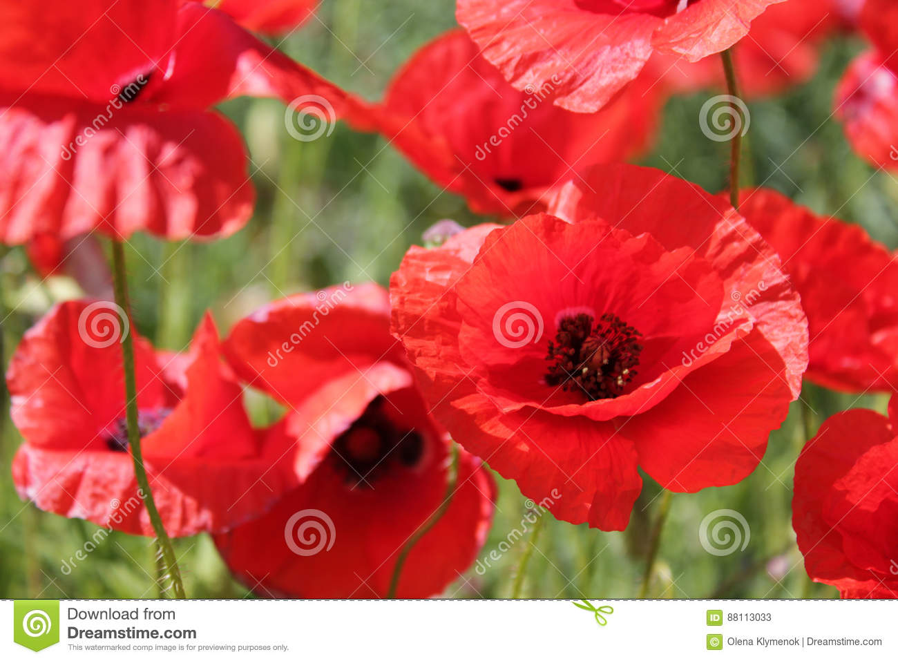 Poppies Field, Red Flowers. Green And Red Colors In Nature. Stock ...
