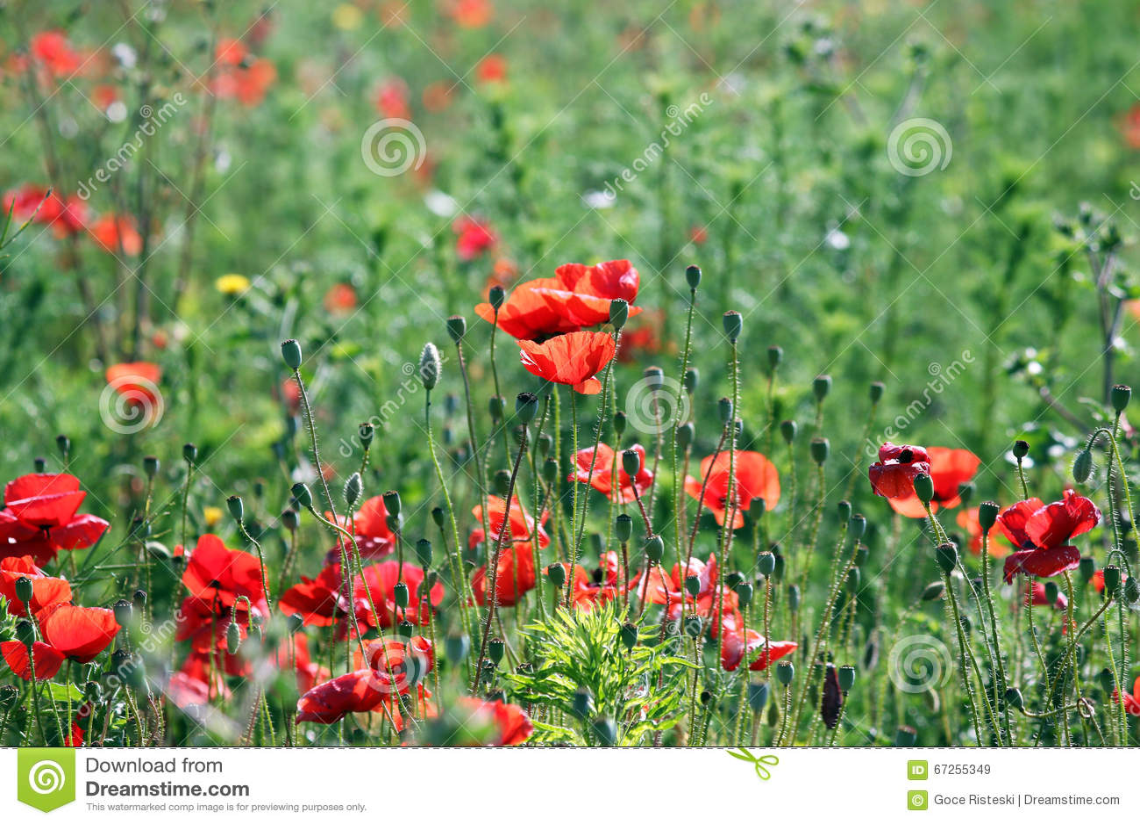 Poppies Flower Field Stock Photo 67255349 Megapixl