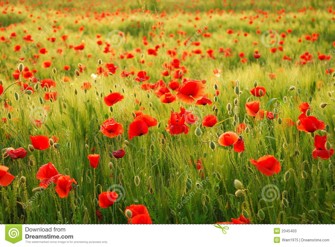 Poppies flowers stock image image of conservation lowland 2345403 poppies flowers mightylinksfo