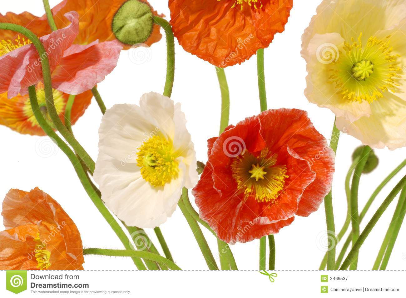 Poppies Flowers Floral Stock Image Image Of Flowers Multicolored