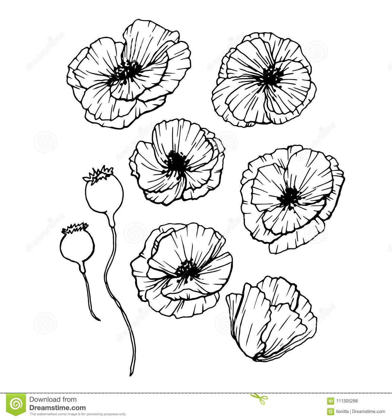 Poppies Flowers Hand Drawn Set Line Art Contour Drawing Style
