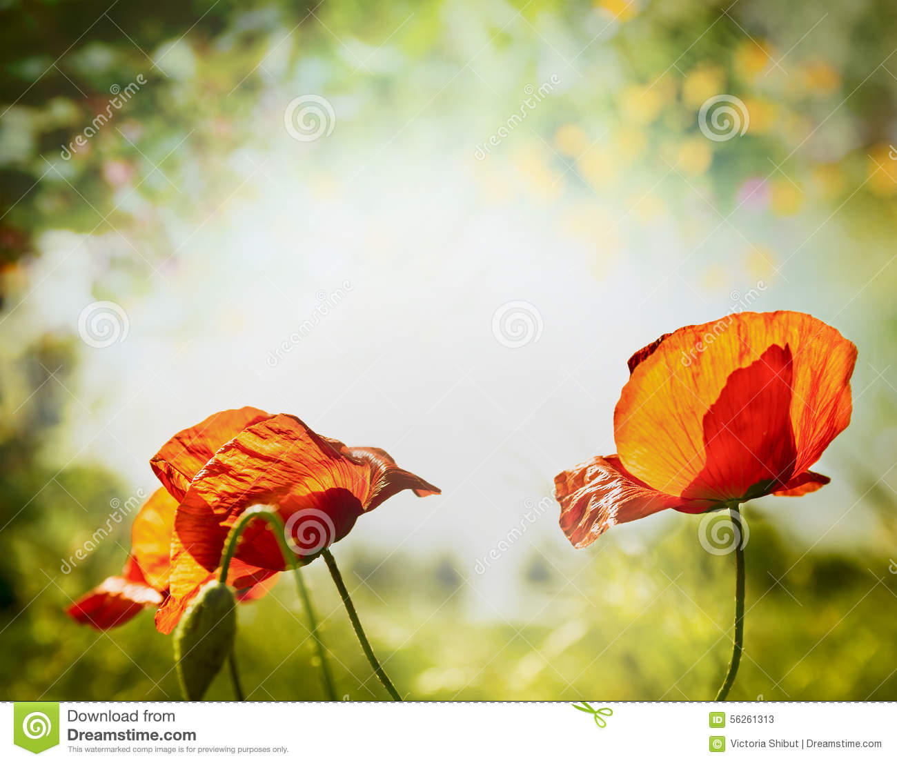 Poppies Flowers On Hot Weather Nature Background Stock Image Image