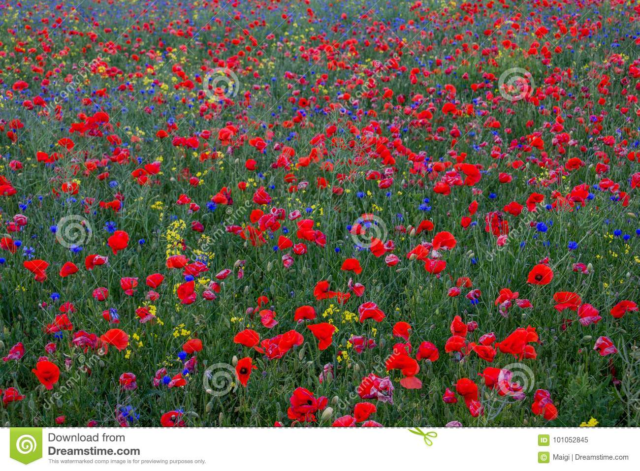 Download Poppies on the green field stock image. Image of yellow - 101052845